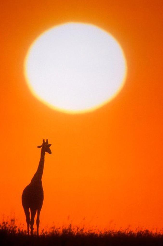 Stock Photo: 4286-17133 Giraffe, East Africa.