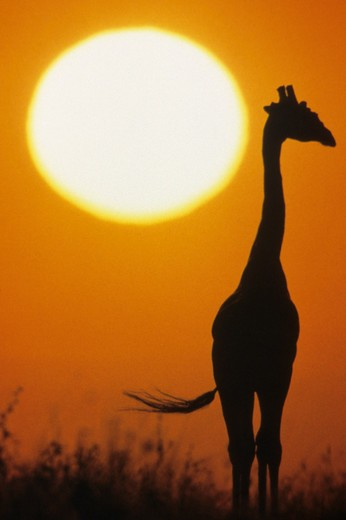Silhouette of a giraffe at sunset in East Africa.  : Stock Photo