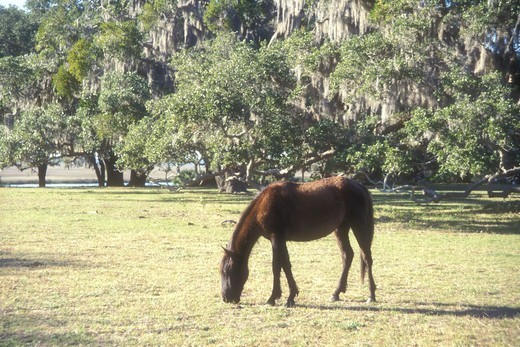 horse, Cumberland Island, Georgia, A feral horse (wild horse) grazes on the grounds of Greyfield Inn on Cumberland Island National Seashore, Georgia. : Stock Photo