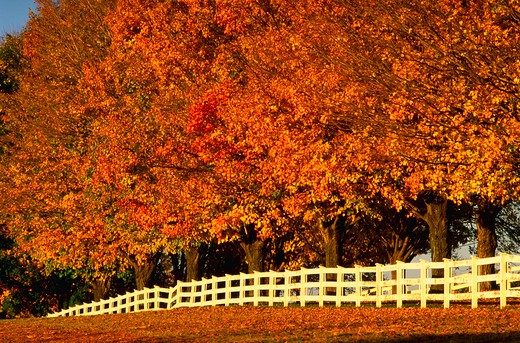 Country lane and white fence in Maryland traveling through yellow fall foliage on the trees. : Stock Photo