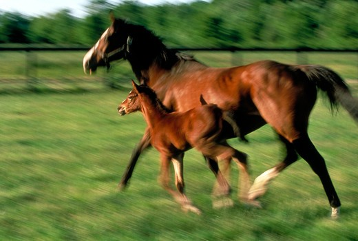 Thoroughbred mare and foal running : Stock Photo