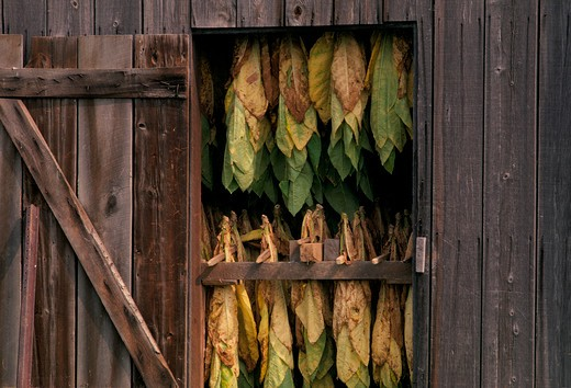Tobacco leaves seen suspended through the open door of a wooden drying barn in Maryland. : Stock Photo