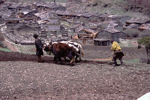 Stock Photo: 4286-22938 Plowing a field with yaks in Samagoan village in Nepal