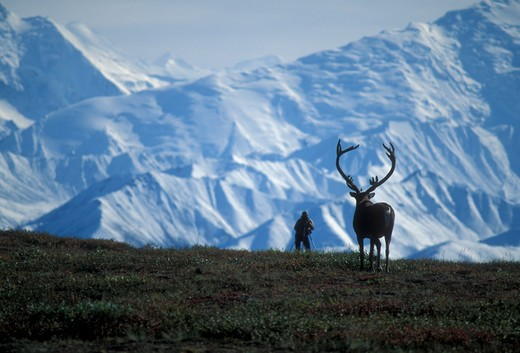 Stock Photo: 4286-24268 USA, Alaska, Denali National Park, Alaska Range, Wonder Lake area, bull caribou and photographer silouette and Denali