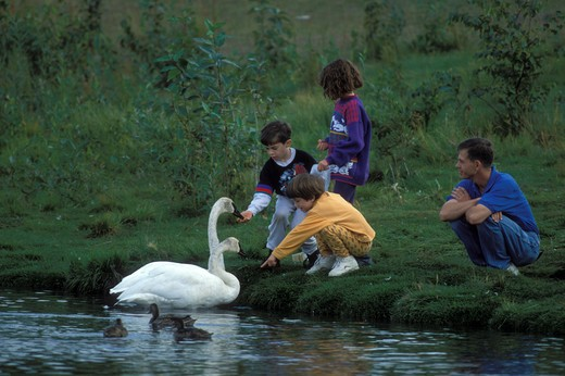 Stock Photo: 4286-24348 USA, Alaska, Anchorage, trumpeter swans and people