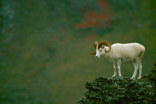 Stock Photo: 4286-24910 A white Dall Sheep ram stands on a rock outcrop, Denali National Park, Alaska.