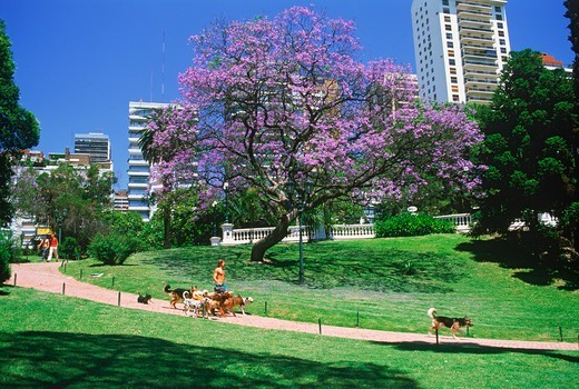 The dog sitter or Paseador de Perros at Belgrano Park in Buenos Aires : Stock Photo