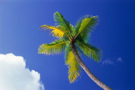 Stock Photo: 4286-26436 One palm tree against blue sky with cloud