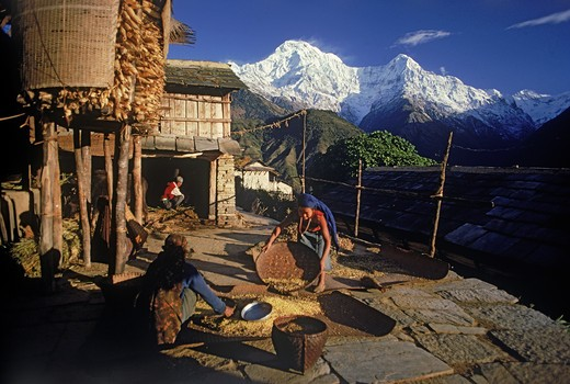 Stock Photo: 4286-26948 Women chaffing grain in village of Ghandruk below Annapurnas in Nepal at sunirse