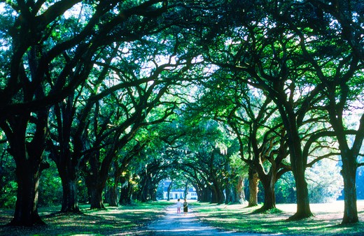 Stock Photo: 4286-27946 Lane of oak trees with hanging Spanish moss at The Oakland Plantation  in South Carolina near Charleston
