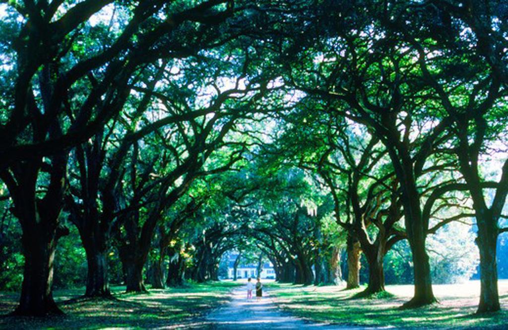 Lane of oak trees with hanging Spanish moss at The Oakland Plantation  in South Carolina near Charleston : Stock Photo