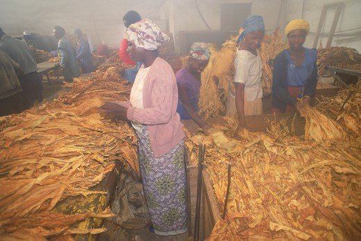 Curing house for grading and sorting and weighing tobacco leaves in Zimbabwe : Stock Photo
