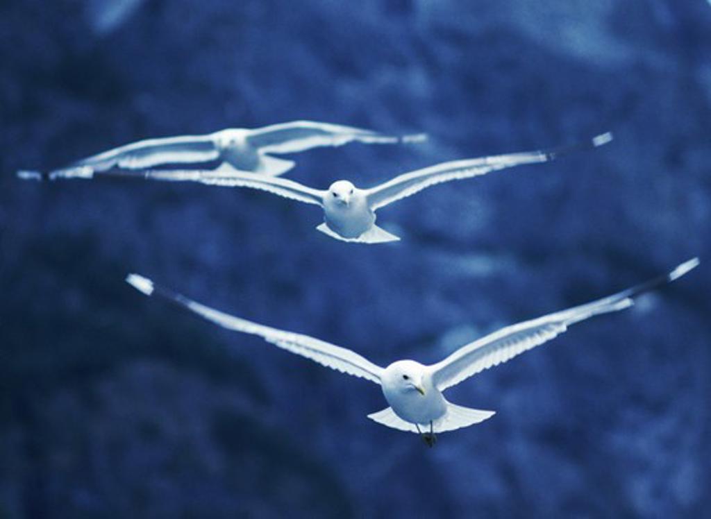 Stock Photo: 4286-28549 Seagulls in flight