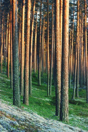 Stock Photo: 4286-28564 Trunks of cultivated pine trees in sunset light in Sweden