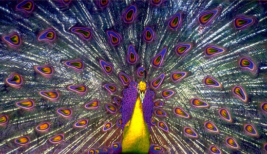 Stock Photo: 4286-29221 Peacock, purple and yellow effect