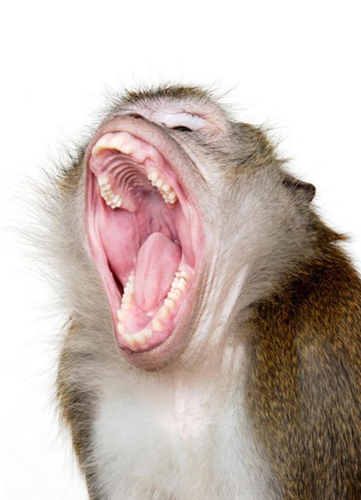 Stock Photo: 4286-30047 Java Macaque Monkey