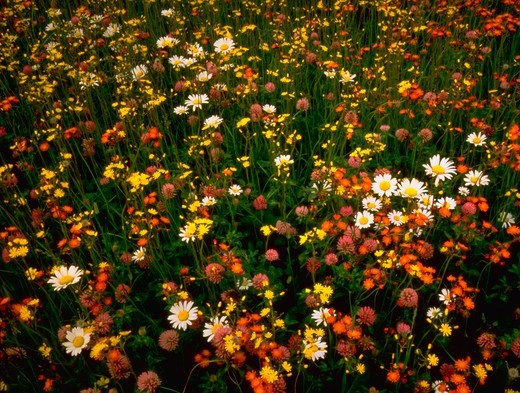 Stock Photo: 4286-31906 Orange and Canada hawk-weed, ox-eye daisy and red clover in abandoned field near Esko, Minnesota.