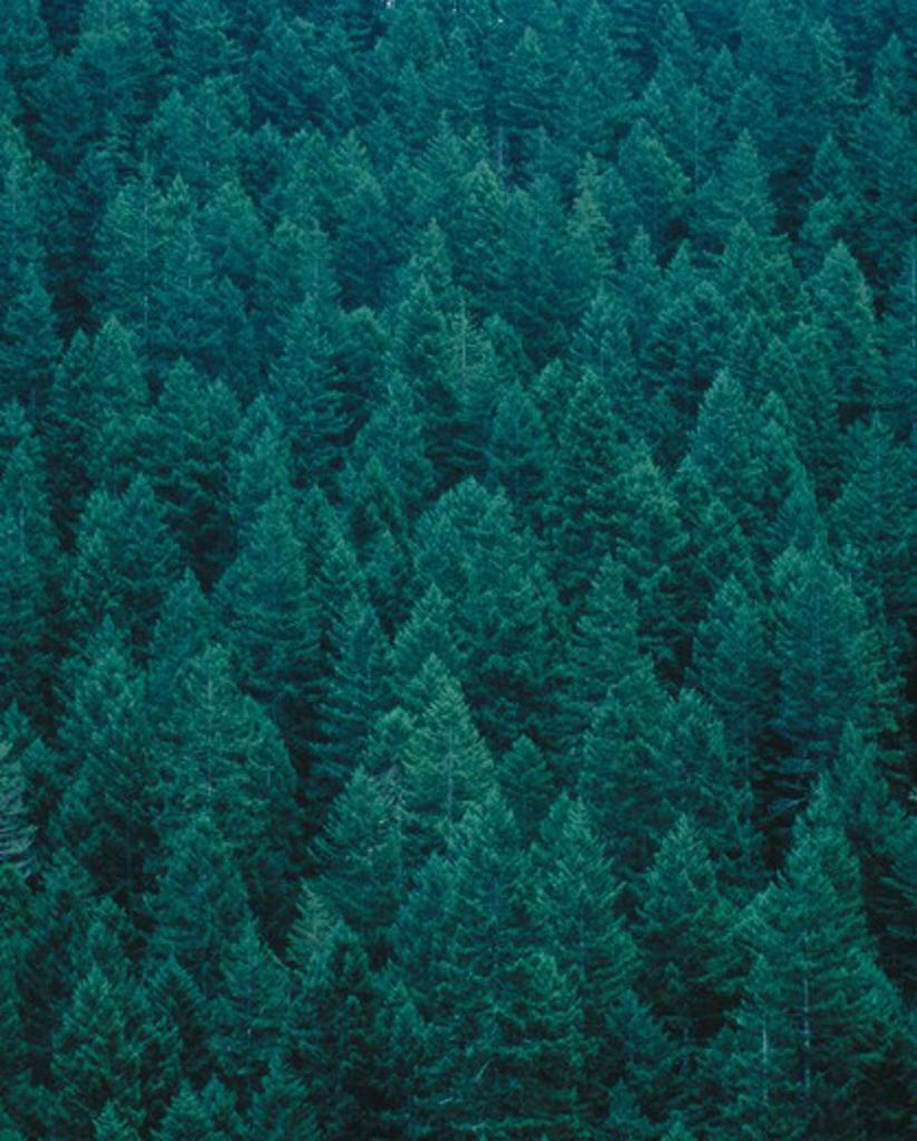Evergreen trees, Olympic Peninsula, WA : Stock Photo