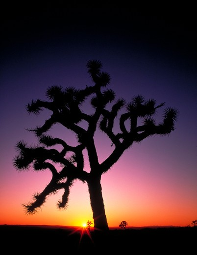 Silhouette of  a Joshua Tree at sunset, Rainbow Basin, Barstow, California. : Stock Photo