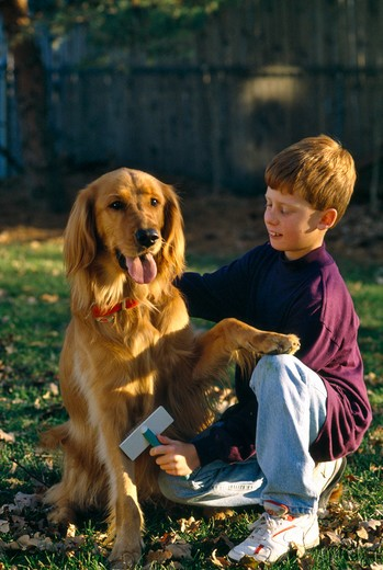 Backyard Moment, boy grooming Golden Retriever. Property released. : Stock Photo