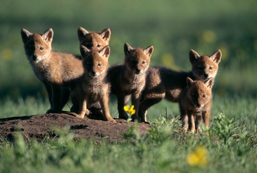 Portrait of six Coyote pups (Canis latrans) during springtime in Rocky Mountain National Park. : Stock Photo