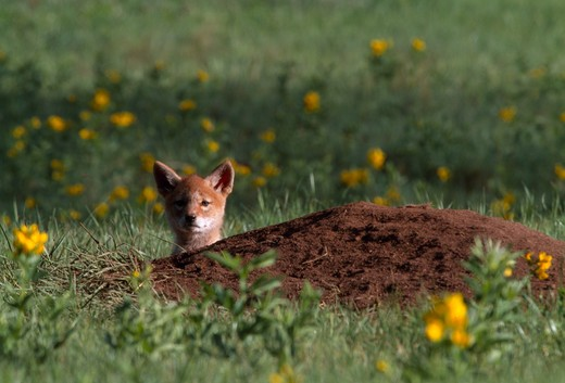Stock Photo: 4286-32889 Lone coyote (Canis latrans) pup peeks over den in meadow, Rocky Mtn Nat'l Park, CO
