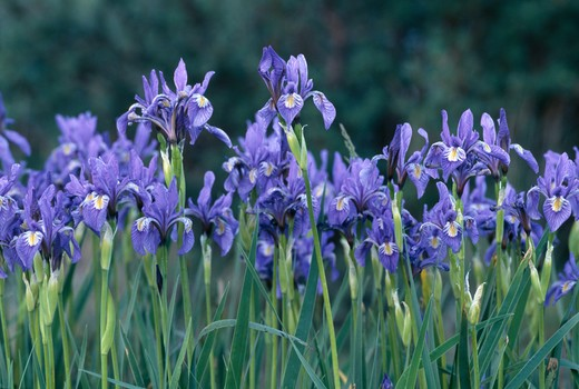 Close-up of spring growth of a wildflower garden of Rocky Mountain irises (Iris missouriensis), Rocky Mtns, CO : Stock Photo