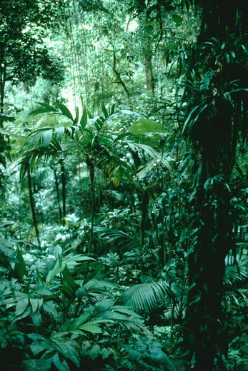 Stock Photo: 4286-35266 Atlantic forest, small palm, Brazil.