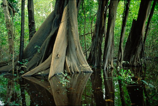 Stock Photo: 4286-35303 Buttresses of tree in swamp forest (mata de igapo) in Mamiraua reserve in Amazon region, Brazil.