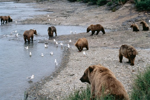 Stock Photo: 4286-36031 Group of Brown bears at falls along the McNeil River, Alaska.  Ursus arctos.
