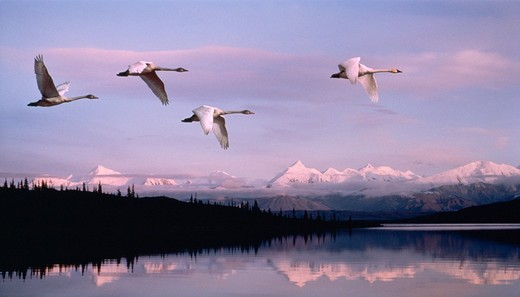 Stock Photo: 4286-36101 Swans flying over Alaska Range, Denali National Park, Alaska.