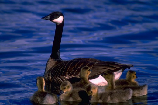 Stock Photo: 4286-36141 Family of Canada geese swimming in pond.  Several young goslings surround their mother.