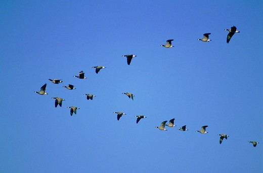 Canadian geese in flight formation in California.  : Stock Photo