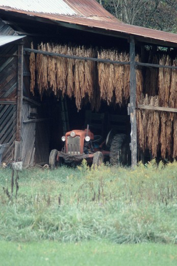 Tobacco plants curing in a barn while suspended over an old tractor, Madison County, NC : Stock Photo