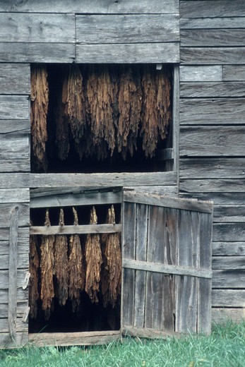 Tobacco plants curing in a barn at a tobacco farm, Madison County, NC : Stock Photo