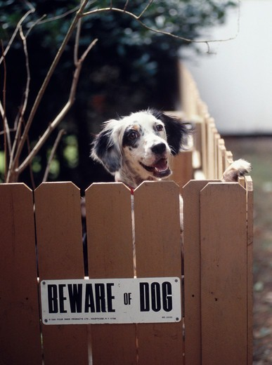 Stock Photo: 4286-39718 English Setter dog looks over a fence with a ?Beware of Dog? sign in the gate.