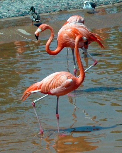 Stock Photo: 4286-41568 Close-up of two flamingos in captivity taken at the San Diego Zoo, CA.