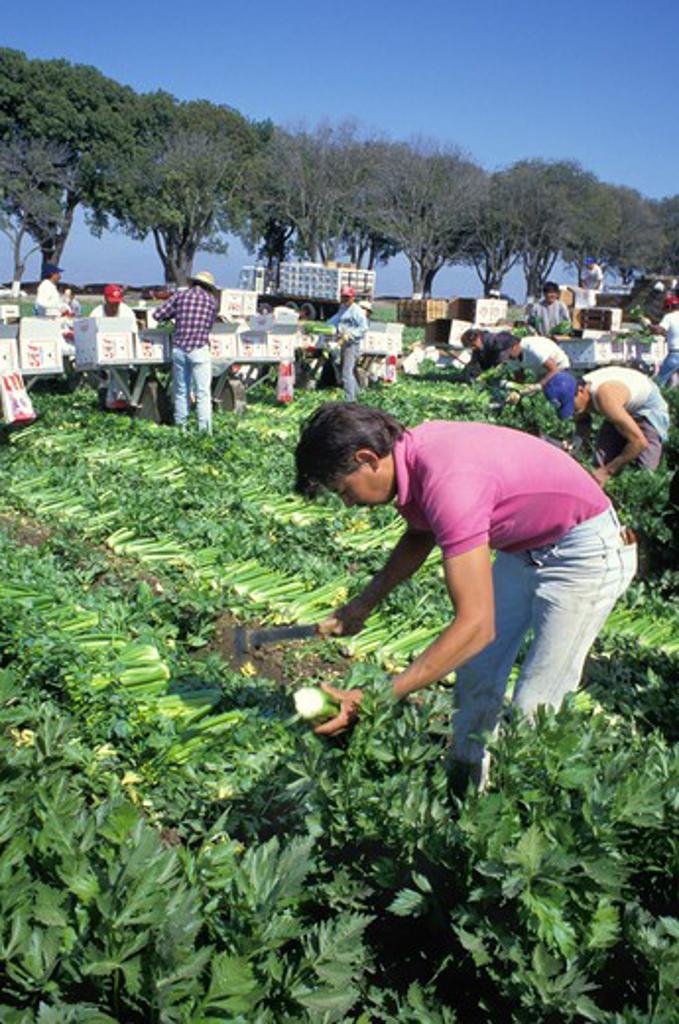 Stock Photo: 4286-41907 migrant workers Hispanic celery harvest Salinas California