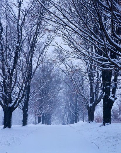 Stock Photo: 4286-42960 Snowstorm blankets a Maple tree lined path in Rockville, MD.