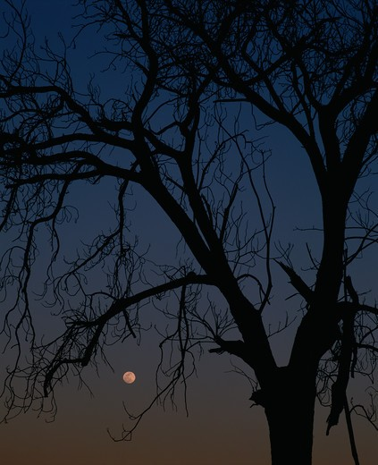 Stock Photo: 4286-42970 Moonrise and old tree, Arizona.
