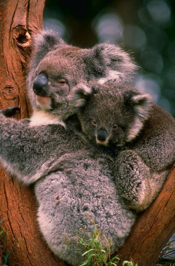 Koala bear with baby : Stock Photo