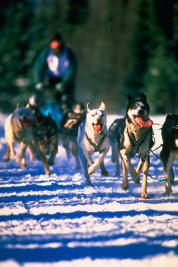 Team of sled dogs pulling rider during a sled dog race, Anchorage, Alaska. : Stock Photo