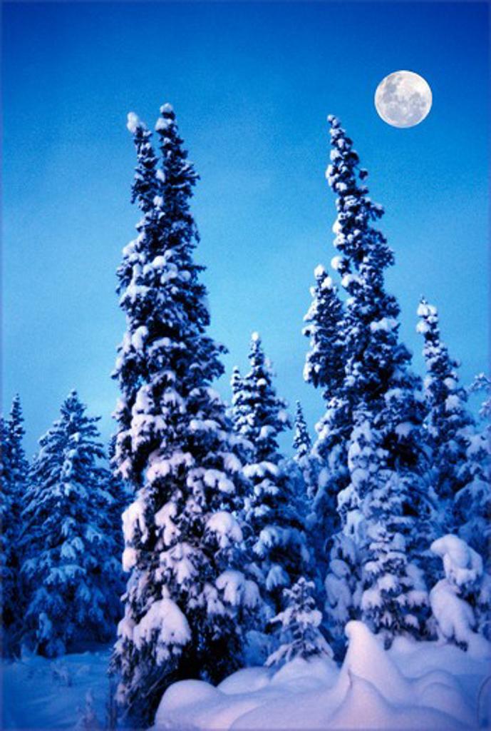 Spruce Forest in winter,Alaska : Stock Photo