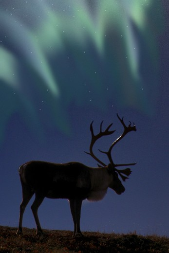 Stock Photo: 4286-43529 Caribou & Northern Lights, Denali NP, Alaska