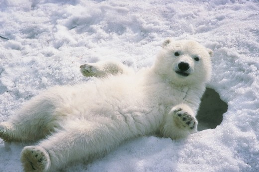Polar bear cub lying on back in the snow. : Stock Photo