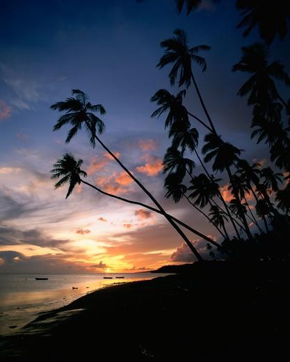 Kapuaiwa Coconut Grove, Molokai, Hawaii, USA : Stock Photo