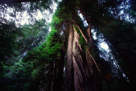 Stock Photo: 4286-46363 Redwood trees, Jedediah Smith Redwoods State Park, California