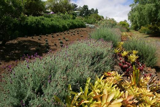Stock Photo: 4286-46859 Alii Lavendar Farm, Kula, Maui, Hawaii