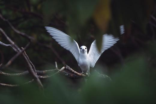 Stock Photo: 4286-48358 Fairy tern, Henderson Island, Pitcairn Group