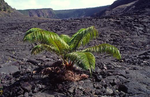 Stock Photo: 4286-48928 Ama'u Fern, Kialuea Iki, HVNP, Island of Hawaii